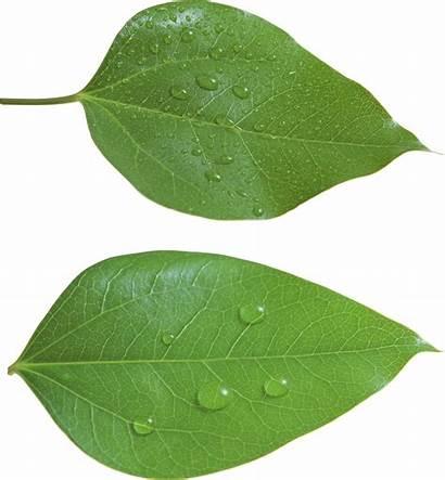 Leaf Leaves Transparent Clipart Leave Background Pngimg