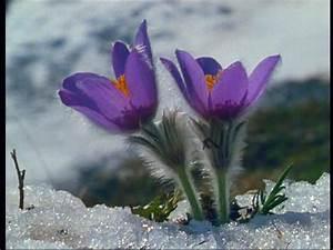 Flower / Blue / Alps   SD Stock Video 897-275-230 ...