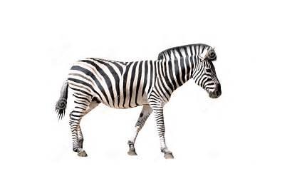 Zebra Pluspng Transparent