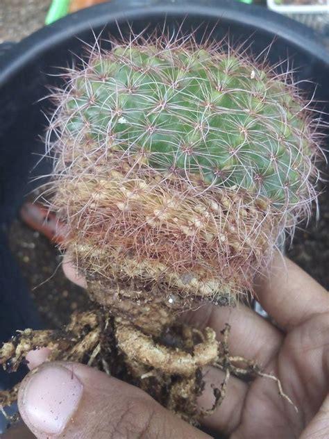 Smile cactus - โคนยุบ โคนเป็นสีน้ำตาล = แต่งรากเปลี่ยนดิน ...