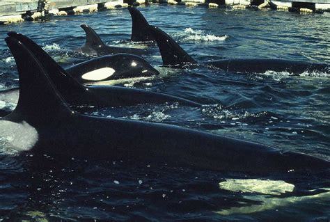 The Heartbreaking Real-life Capture Of Orcas For Seaworld