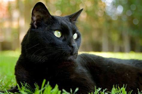 black panthers phone number schwarze katzen bringen ungl 252 ck woher stammt dieser