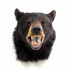 vintage taxidermy black bear head mount