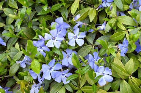periwinkle plant periwinkle weed control how to remove periwinkle ground cover