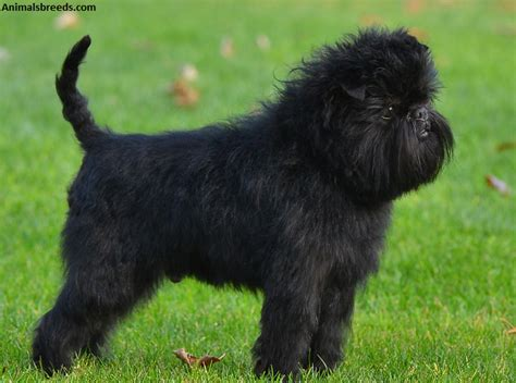 Affenpinscher Puppies Rescue Pictures Information Temperament Characteristics Animals