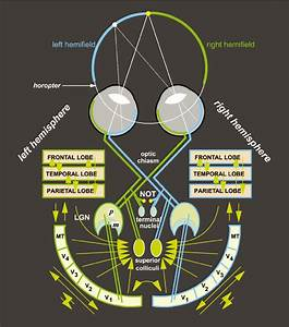 The Basic Wiring Diagram Of The Visual System  Ganglion Cells From The