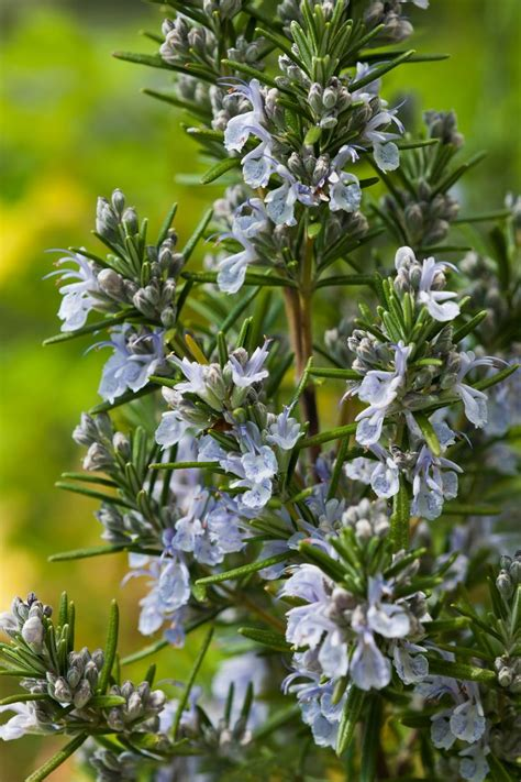 1000+ Ideas About Blue Flowering Shrubs On Pinterest