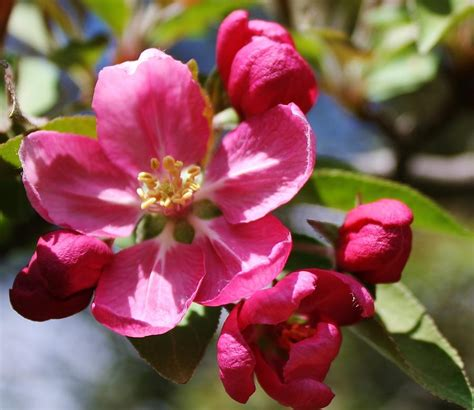crabapple blossoms crabapple blossom photograph by bruce bley