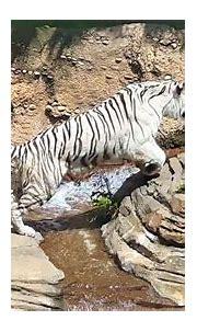 White Tiger at Busch Gardens - YouTube