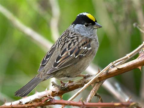 Golden Crowned Sparrow Ebirdr