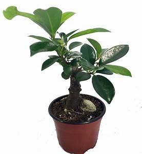 Bonsai Ficus Ginseng : imported chinese ginseng ficus bonsai tree 3 5 pot ~ Buech-reservation.com Haus und Dekorationen