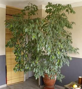 Comment Tailler Un Ficus : taille d 39 entretien d 39 un ficus benjamina ~ Melissatoandfro.com Idées de Décoration