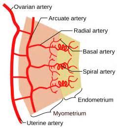 spiral artery wikipedia