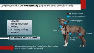 Lymph Nodes In Dogs Diagram