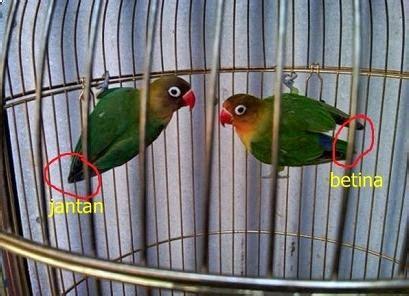 Burung flamboyan jantan memiliki warna paruh bawah yang lebih gelap. Inilah 3 Ciri Ciri Lovebird Jantan dan Betina