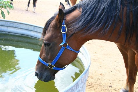 horse water drinking equine hindgut healthy diarrhea horses undifferentiated trots non fresh tract potomac fever feces horsejournals keeping loose crucial
