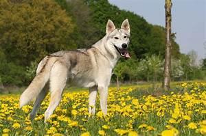 German Shepherd vs. Siberian Husky - General Chat - GTAForums