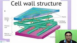 Eukaryotic Cell  Cell Wall