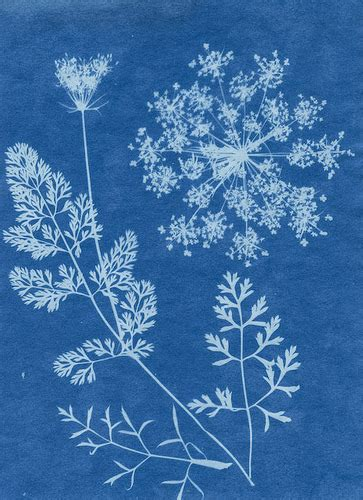 solar prints solar print queen ann s lace the 3rd of three to get nic flickr