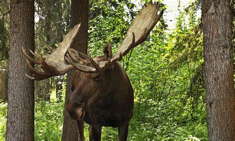 moose attack   moose  dangerous