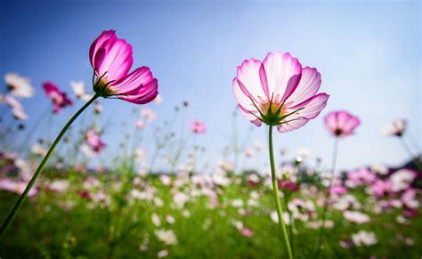 Cosmos Flowers Please Visit My Facebook  Ee  Page Ee   Www