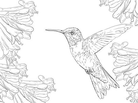 Hummingbird Coloring Pages - Sanfranciscolife