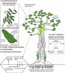 Mechanisms Affecting Oxygen Isotopic Fractionation In Agathis Australis  New Zealand Kauri
