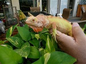 The Columbian Exchange Albino T Neg Florida Iguana Tortoise Breeders