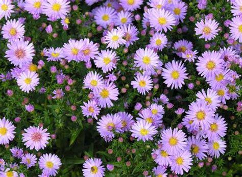 aster fiori aster guida completa alla coltivazione e cura