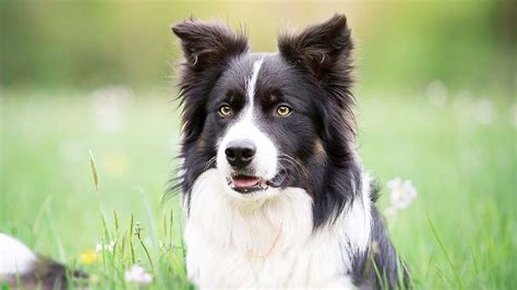 border collie information characteristics facts names