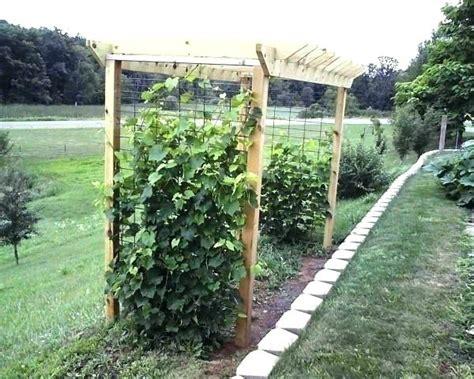 Backyard Grape Vine Trellis A Cool Backyard Grapevine