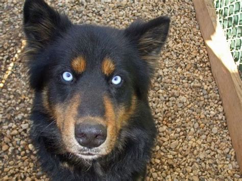 husky mix with rottweiler www imgkid the image kid