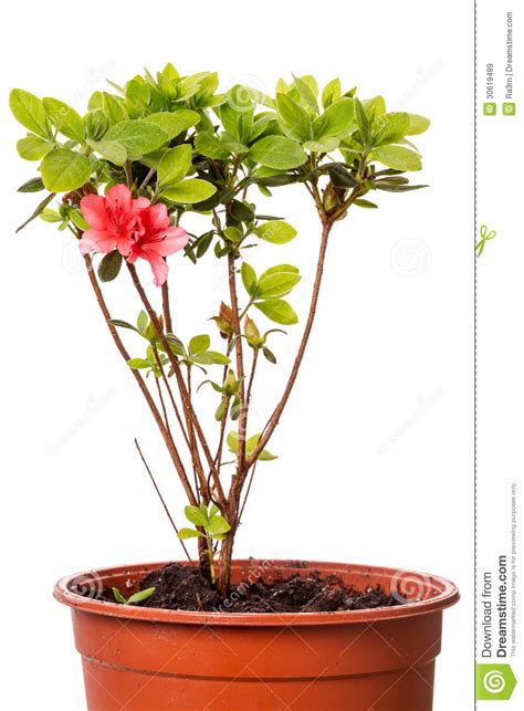 planting rhododendron in pots rhododendron in pots royalty free stock images image 30619489