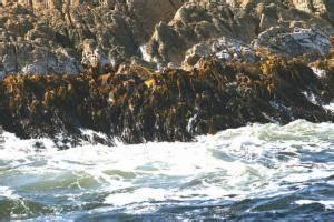 Durvillaea Potatorum   Bull Kelp