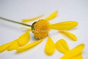 Flower Petals Falling Off Flower | www.pixshark.com ...