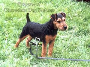 Terrier breeds black and tan – Dogs in our life photo blog