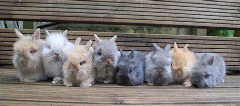 lionhead rabbit colors lionhead rabbit overview varieties colors 100 pictures
