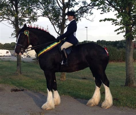 shire horse horses ride breed largest riding heavy jumping ridden giant facts draft british history stafford into horsemart foal gentle