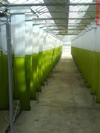 prospects  algae biofuels  gcc ecomena