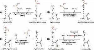 Acetylation And Deacetylation Reactions In The Amino