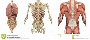 Internal Organs Of The Human Body Anatomical Chart Anatomical Overlays Of The Torso Backside Royalty Free
