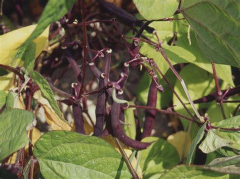 cuisiner les haricots mange tout haricot mangetout c 39 est le moment de semer plantation
