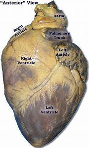 Multiple Good Visuals For Pig Heart Dissection