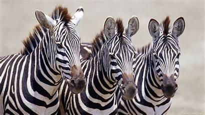 Zebra Computers Desktop Backgrounds 3d Wallpapers Background