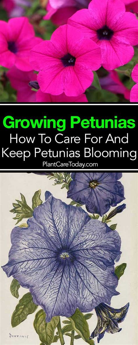 how to maintain petunias best 25 petunia plant ideas on pinterest victorian chimineas petunias and flowers for