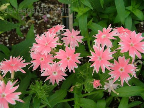 annual phlox plantfiles pictures annual phlox drummond s phlox twinkle star mix phlox drummondii 1 by