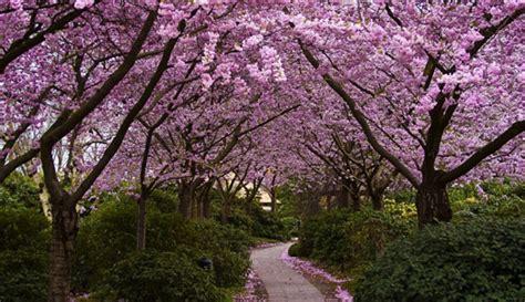 japanese cherry blossom desktop wallpaper gallery