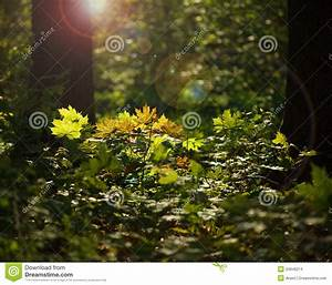 Sunlight In Forest Undergrowth Stock Photo