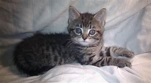 Giant Maine Coon Cat |Angora Cat | ANIMAL ONLINE