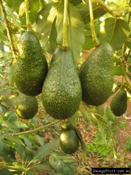 avocado tree persea americana hass sheppard fuete reed